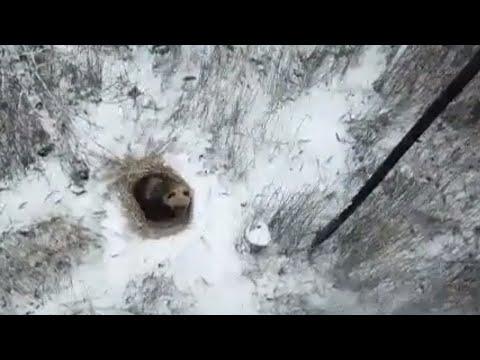Новость. Медведь в Снежинске (05.12.2018)
