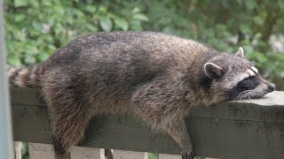 FUNNIEST RACCOONS and SQUIRRELS in the WORLD!  Funny RACCOON & SQUIRREL compilation