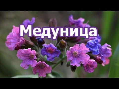 Растение медуница лекарственная мягчайшая, состав, лечебные и полезные свойства целебной травы.