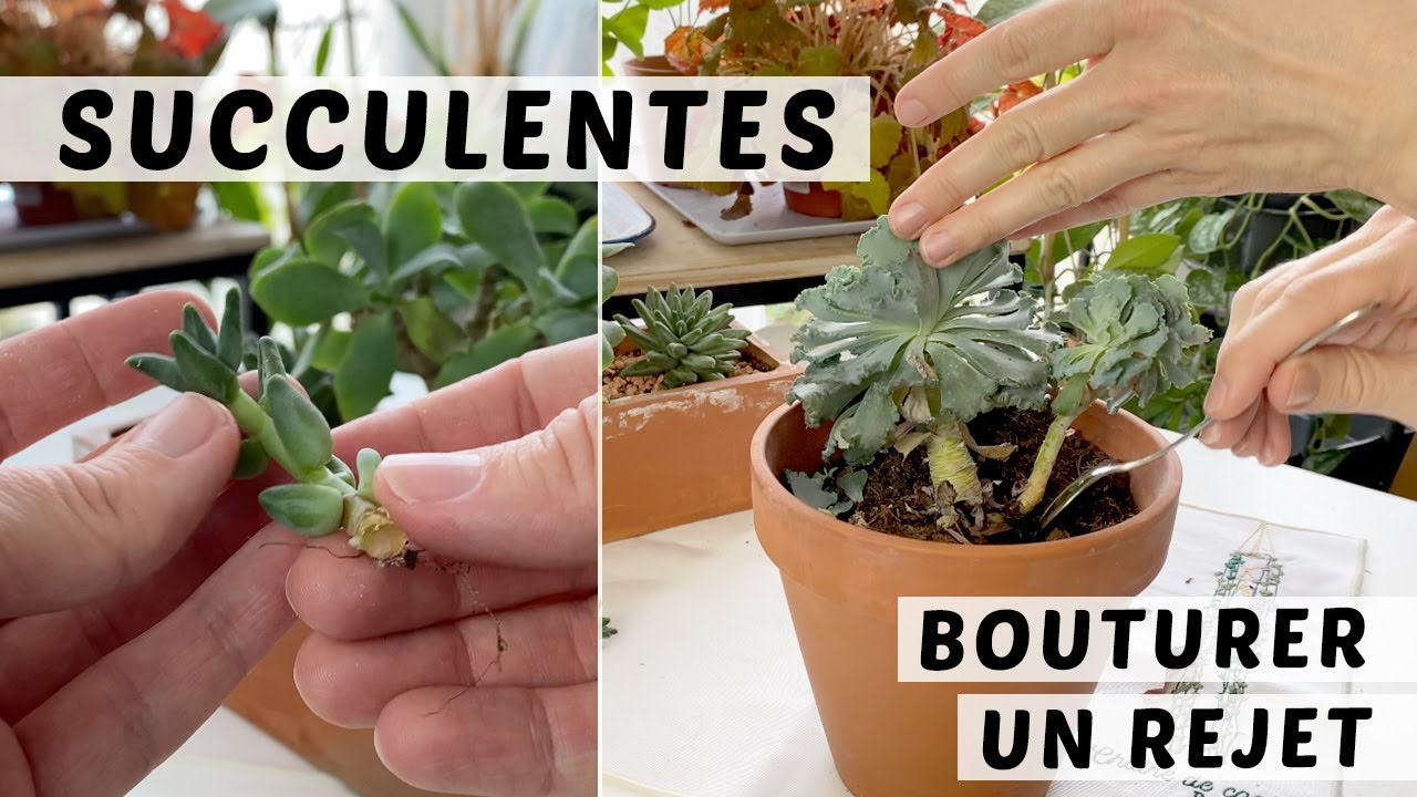 COMMENT BOUTURER LES PLANTES GRASSES : BOUTURAGE DE TIGE ...