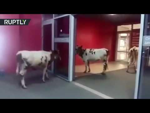 زبائن مركز تجاري يرتبكون عند رؤية أبقار فيه  - نشر قبل 3 ساعة