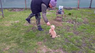 Тренировка карликового пуделя. Маруся жжет))))