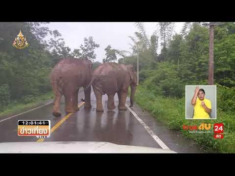 ช้างป่วนถนนป่าละอู โดนดุรีบเข้าป่า