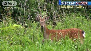 荒川土手をシカ疾走 28日も・・・目撃者「人懐っこい」(20/06/02)