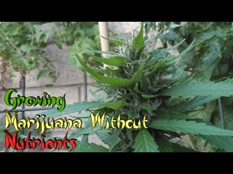 Growing Marijuana Without Nutrients