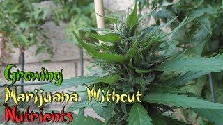 Growing Marijuana Without Nutrients
