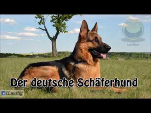 Der Deutsche Schäferhund👍