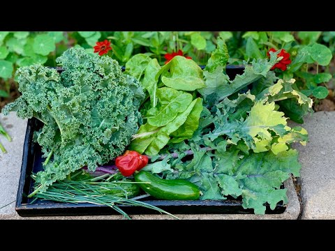 🌿 LIVE: 3 Tips to Harvest Lots of Kale & Chard - Delicious Heat Tolerant Greens!