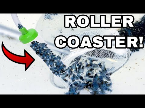 MINI BLUE LOBSTER CRAWFISH ROLLERCOASTER *SAFE FOR TRANSPORT*