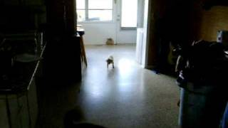 Pink Poodle Chases Laser Beam
