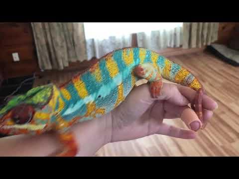 Jungle Jim Ambilobe Panther Chameleon Breeder
