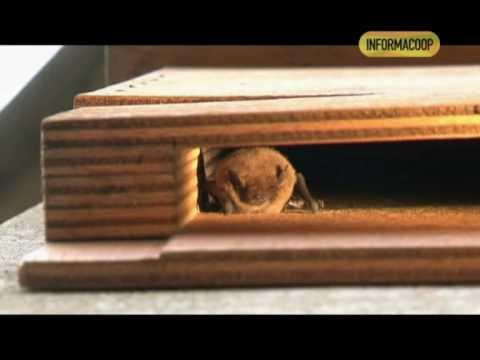 Pipistrelli nelle BatBox sul Torrino della Specola a Firenze (Museo di Storia Naturale)