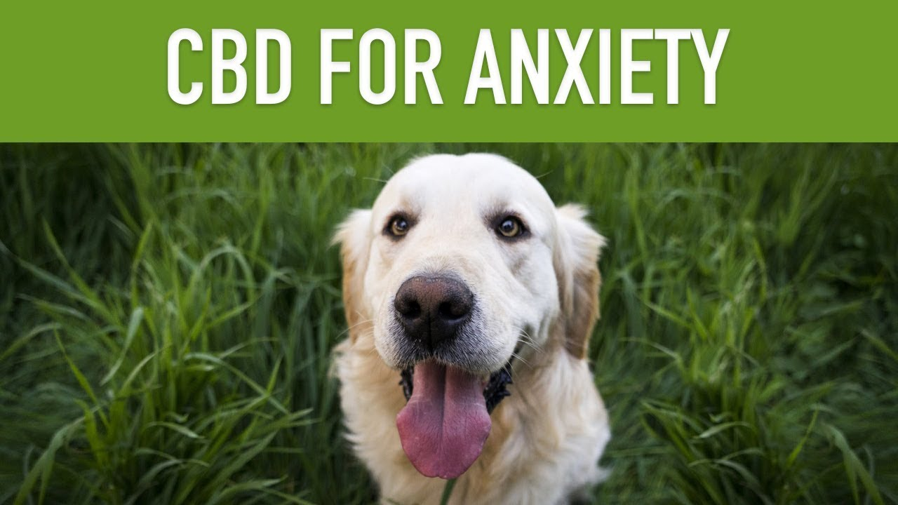 CBD FOR DOGS WITH ANXIETY - Keep Your Dog Calm With CBD