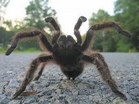 Du jamais vu a mons belgique une norme araign e monstrueuse youtube - Araignee des jardins en 6 lettres ...