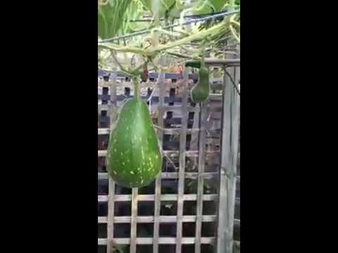Bottle gourd (bangladeshi lau) growing in London 2016 this is not a information video