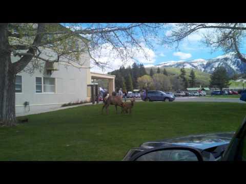 Baby elk yellowstone national park mammoth hot spr