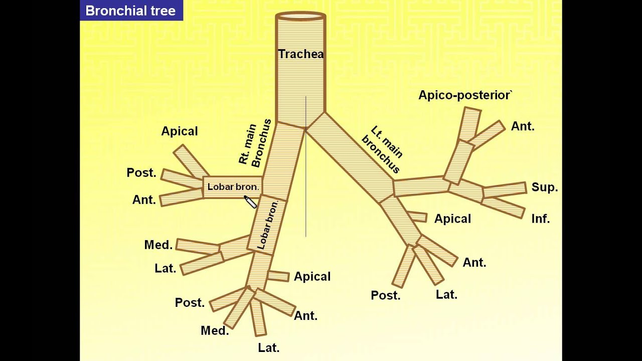 Magdy Said anatomy series,Thorax 7,thoracic cavity,bronchial tree ...