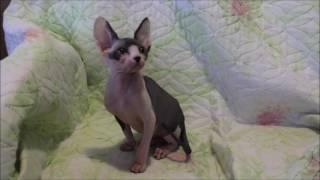 Fellina Tulskaya Krasa. Канадский сфинкс кошка. http://cats-tula.ru/kotyata-k
