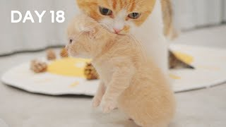Mom Cat Carries Baby Kittens By Scruff  Day 18 @ Baby Kittens Day 1 to Day 100 Lucky Paws Vlogs