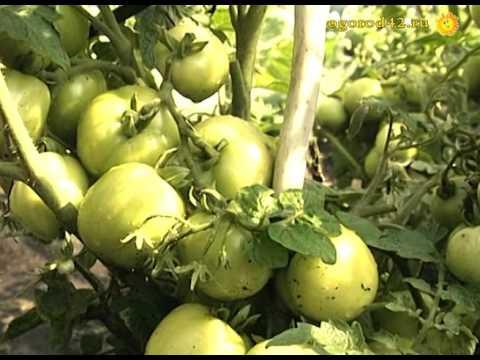 Сорта помидор для открытого грунта
