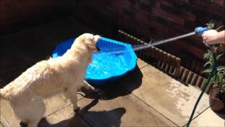 Golden Retriever Tries To Eat Water From Hosepipe