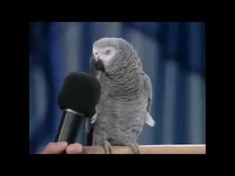 ببغاء يقلد أصوات الحيوانات والطيور ويفهم كلام البشر