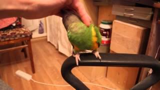 Сенегальский попугай Ева