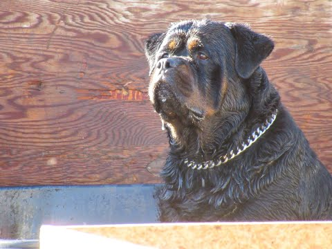 Giant Rottweilers From Europe#VTDRK