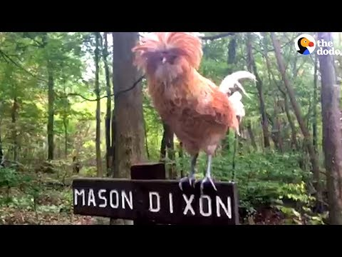 Woman Finds Rooster On Her Hike And Saves His Life | The Dodo