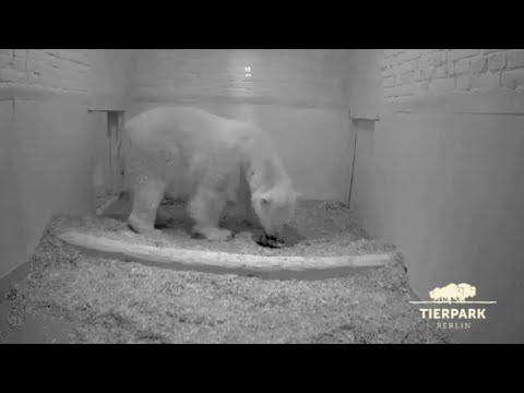 Berlin polar bear gives birth to a new cub
