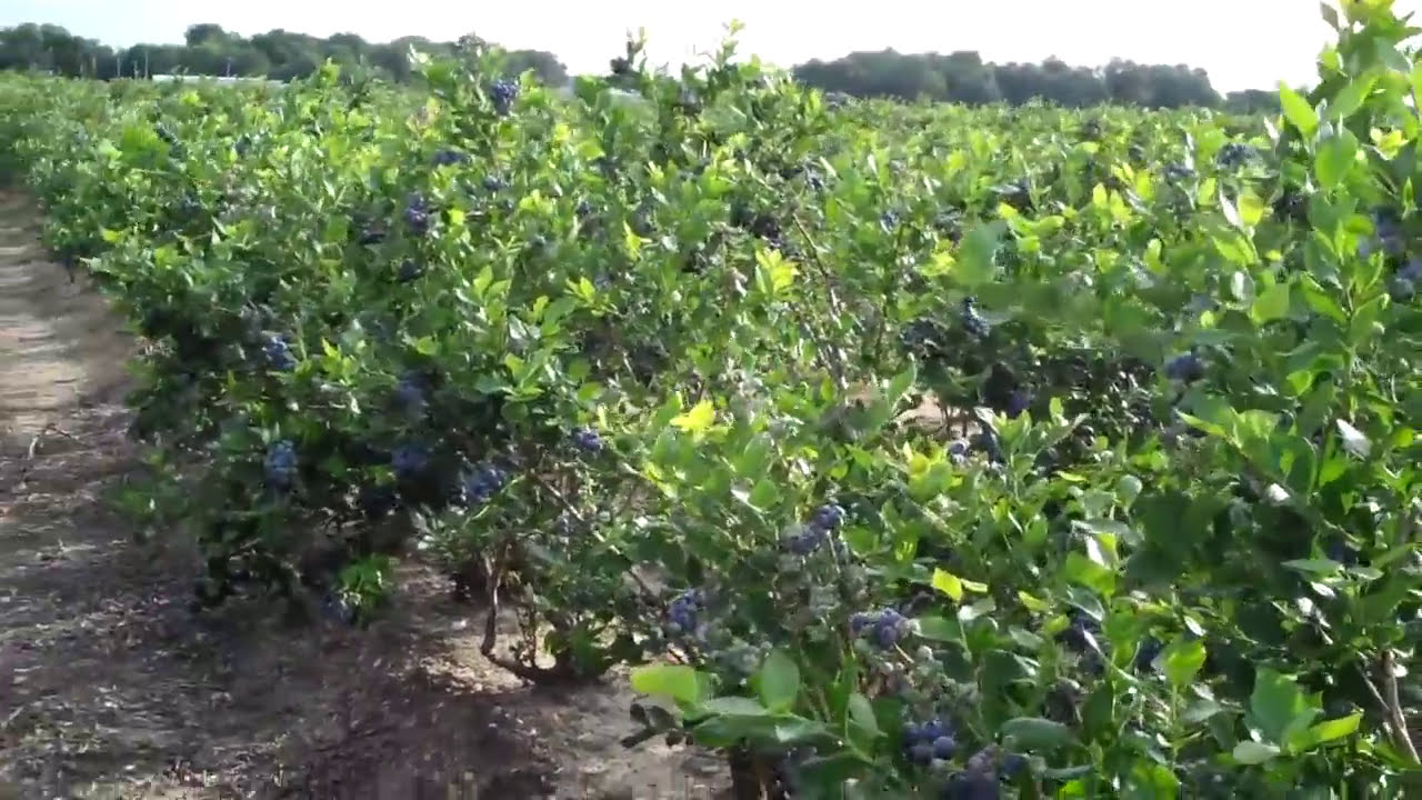 How To Grow Big Blueberries With Expert Blueberry Farmers