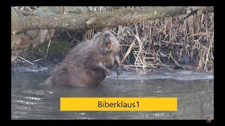 Biber begeistert Kinder . Castor fiber , Beaver , Europäischer Biber,Eurasian beaver