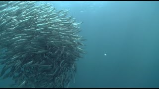 Little Forage Fish Make a Big Difference on the Pacific Coast | Pew
