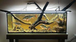 Запустил в аквариум ДИКИХ окуней