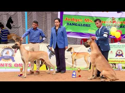Great Dane  Speciality Show