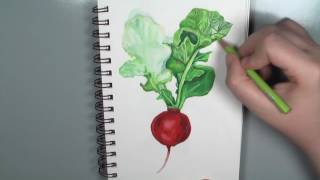 Drawing a Radish - mixed media - prismacolor colored pencil drawing with watercolor underpainting