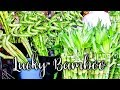 22 Things to Know About Growing & Caring For Lucky Bamboo / Joy Us Garden