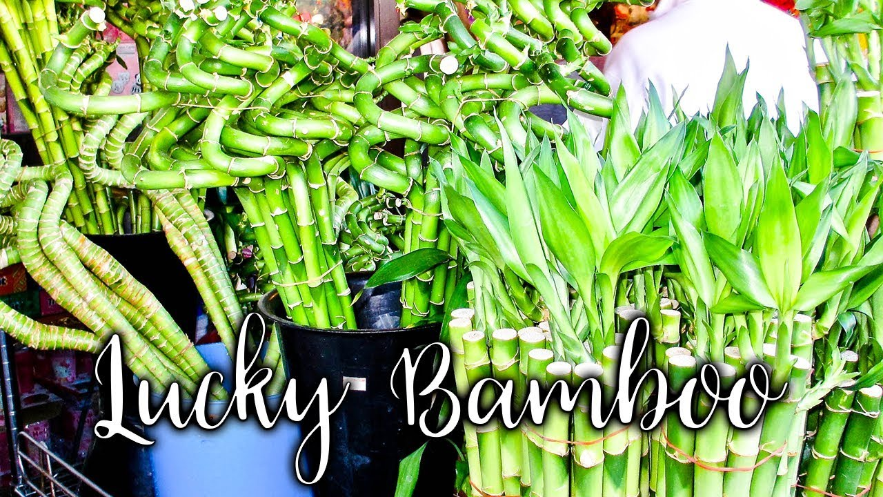 Growing Lucky Bamboo: 24 Things To Know About Caring