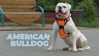 American Bulldog 101  Breed Information & Facts