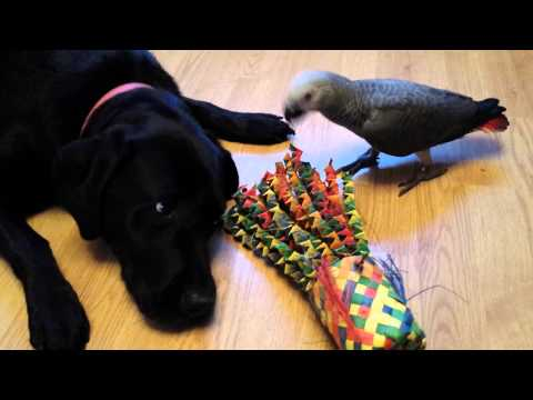 Labrador dog and African Grey Parrot just chilling