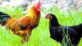ROOSTERS in FARM - Wild Life Animal Planet - Ayam Jago Jawa [HD]