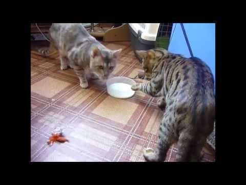 Two cats fighting over milk