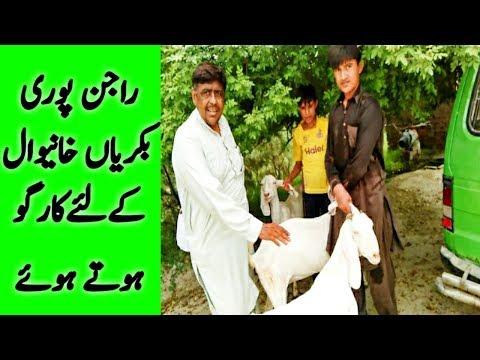 Beetal farm Ghallu only one in punjab 9465838800 | FunnyCat TV