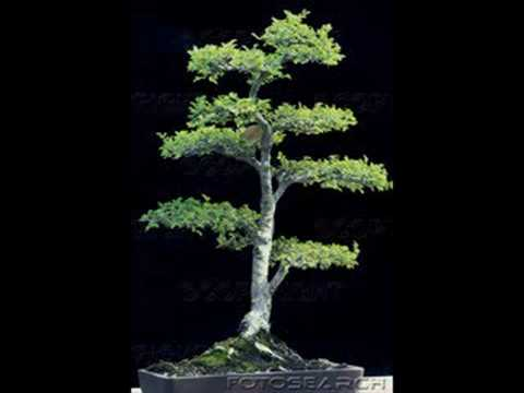 Bonsai Tree Pictures Youtube