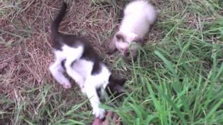 Ranger & Silver the Siamese Kitten Update