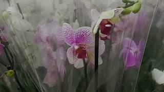 ОРХИДЕИ   комнатные цветы / фаленопсис   купить орхидею