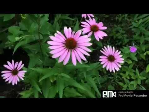 Вопрос: Цветки хрена когда собирать и как заготовить на зиму для лечебных целей?