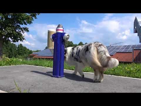 Dog Tricks by Clooney (Aussie), Skateboard fahren, Seilspringen