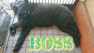 超大型犬1歳3ヶ月のニューファンドランドのBOSS君   今日は初めて来た小...