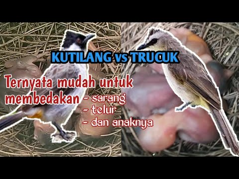 Cara Membedakan Burung Trucuk Dan Burung Kutilang Perbedaan Sarang Telur Dan Anakannya Youtube